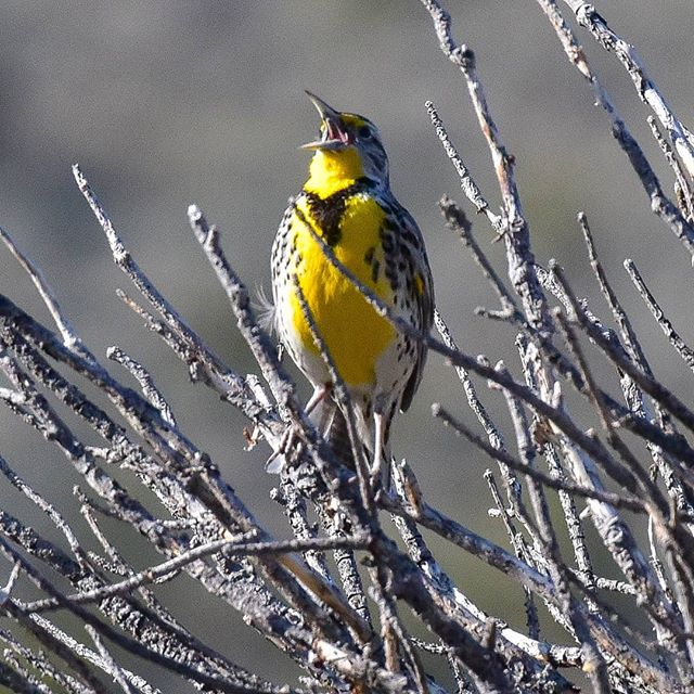 You can almost hear this Montana meadowlark sing through the screen. We heard many of the state's bird during a staff retreat to Lewis and Clark caverns state park in May. 📷 @stephenlegault