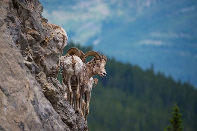 Did you know bighorn sheep have natural climbing shoes? Their rough hoof bottoms provide them with a firm grip, allowing them to stand on the tiniest holds as they move throughout rugged mountain terrain. We're jealous! #WildlifeWednesday 📷: @jkreyphoto