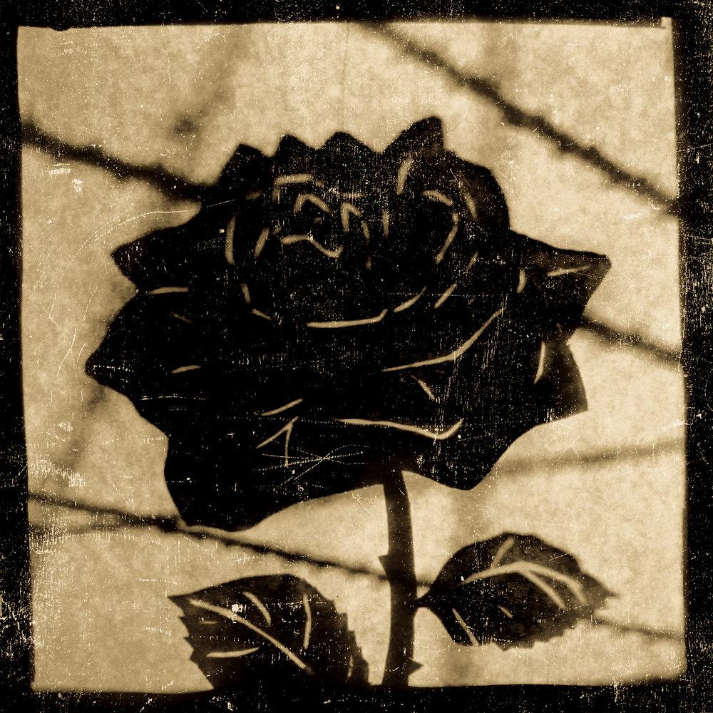blackrose.jpg