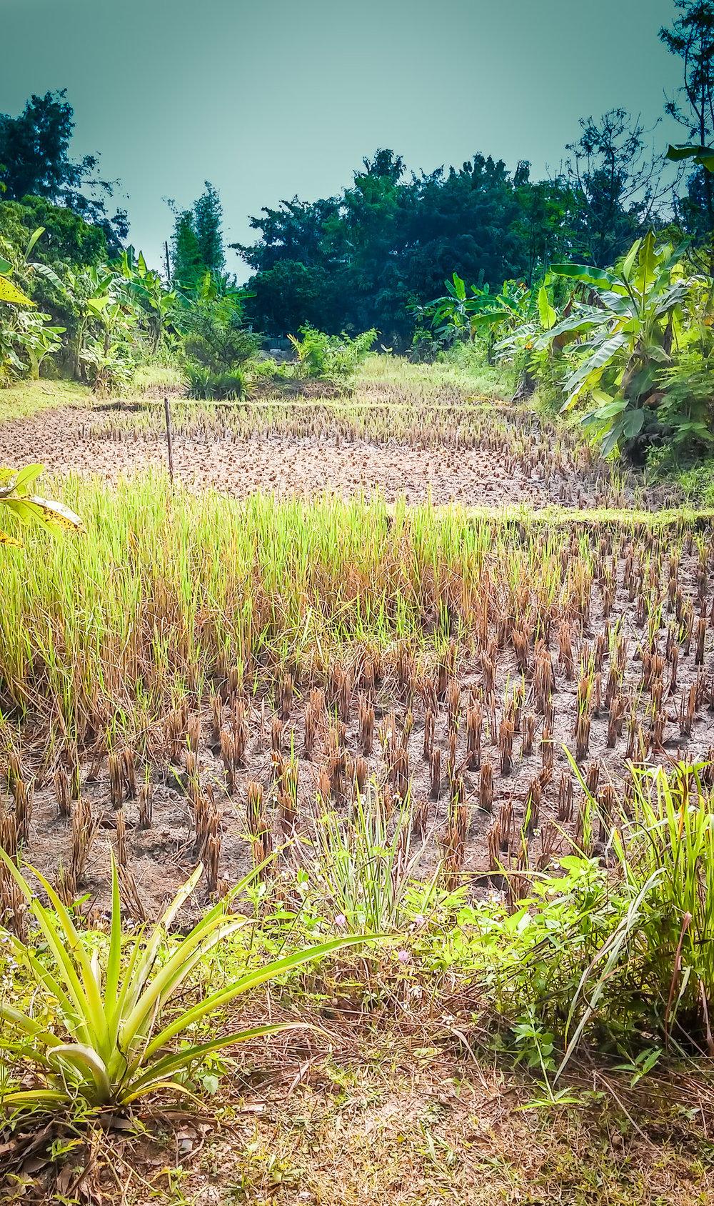 Rice Field Pic.jpg