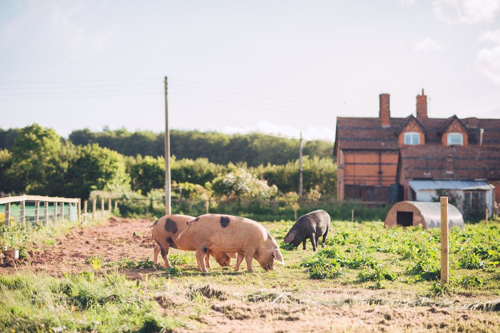 Nicola & Richard Wedding at Huntstile Farm - Pigs