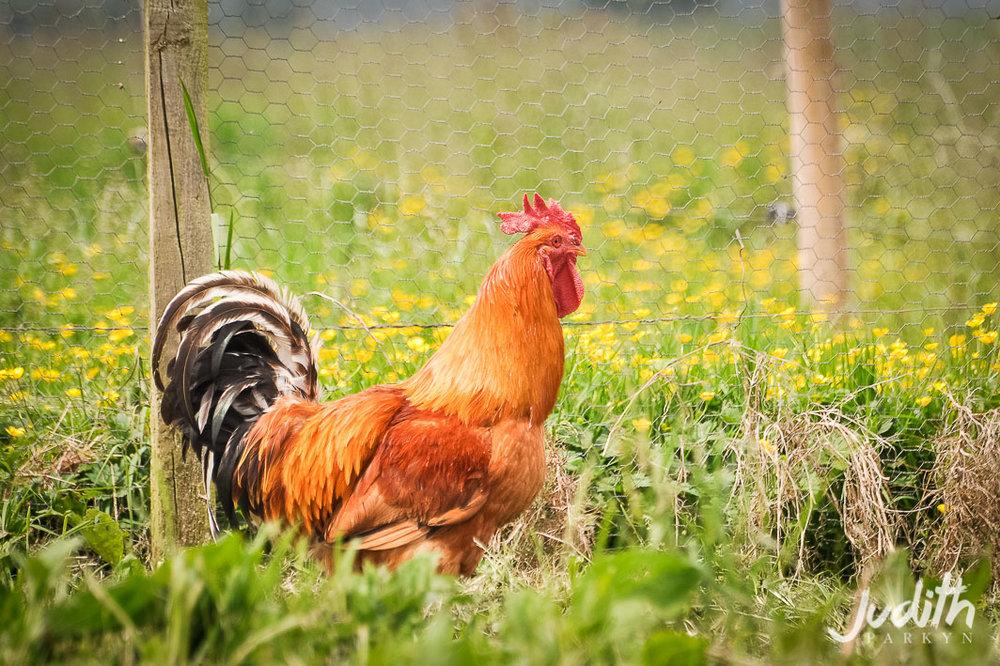 Huntstile Farm Free Range Hens
