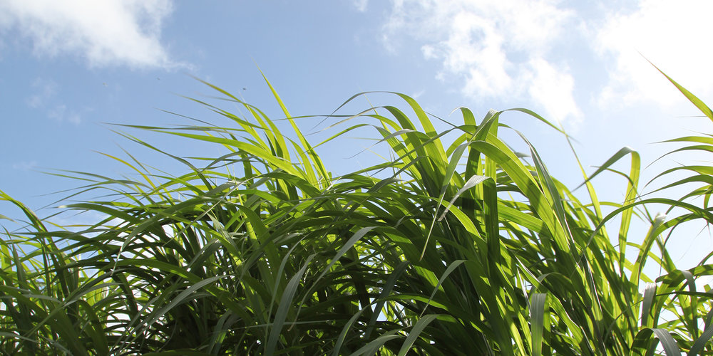 Miscanthus   The wonder crop   Learn more