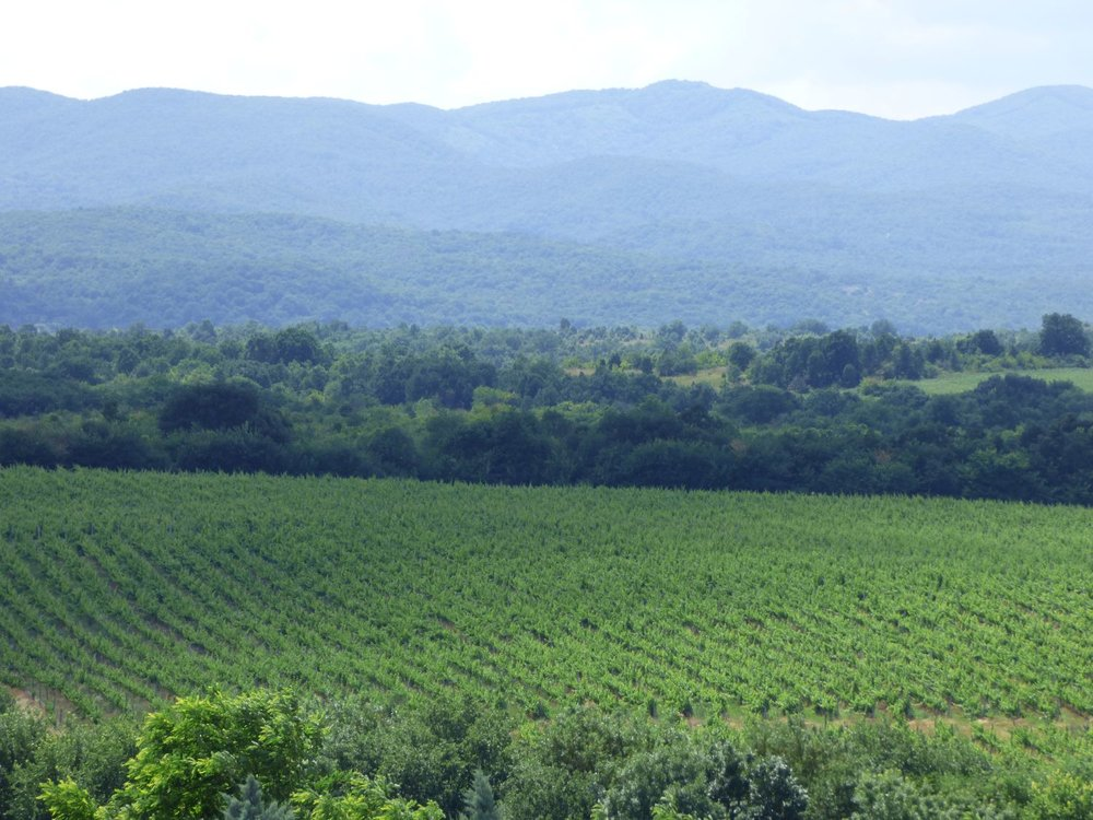Vineyards in Bulgaria's Thracian Valley