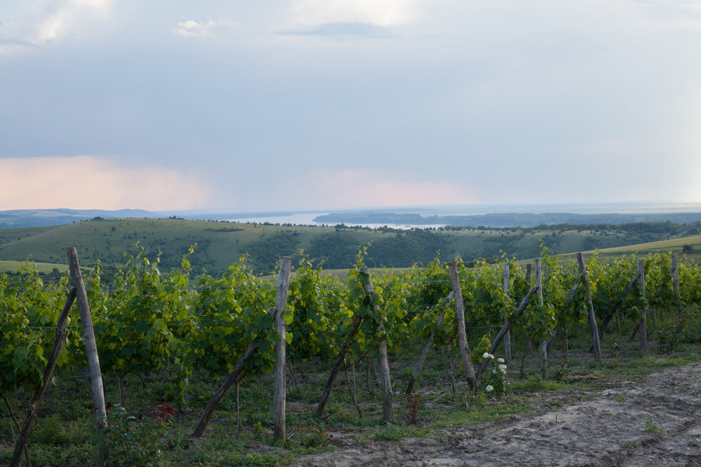 Vineyards in Bulgaria's Danube Plain