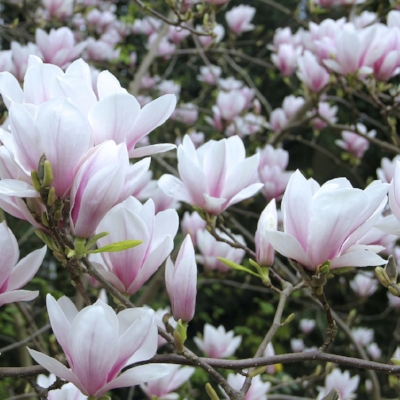magnolia-109321_1280.jpg