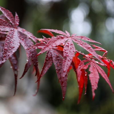maple-leaf-2768840_1920.jpg