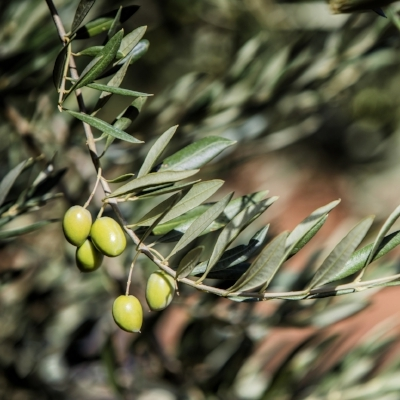 olives-on-olive-tree-at-sunset-near-jaen-spain-PP5KJEV.jpg