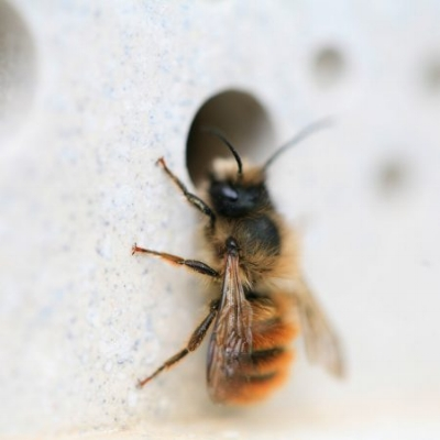 nesting-red-mason-bee-on-green-and-blue-bee-brick-450x450.jpg