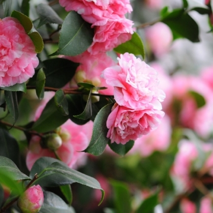 Camelia Evergreen Shrub.jpg