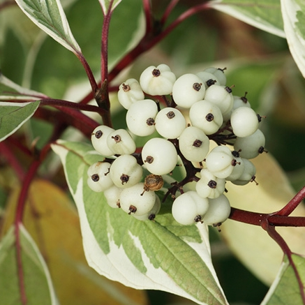 cornus-alba-dogwood-leaves-berries-and-red-stems.jpg