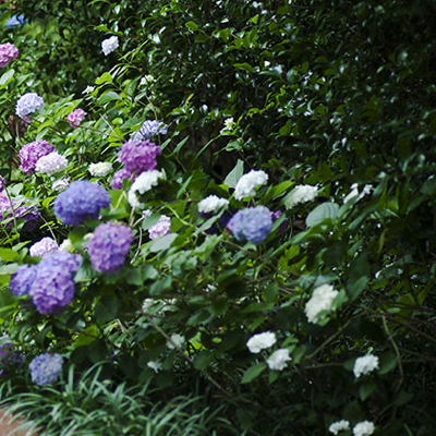 COLOURFUL-HYDRANGEA-HEDGES-QUICK PRESET_400X400.PNG