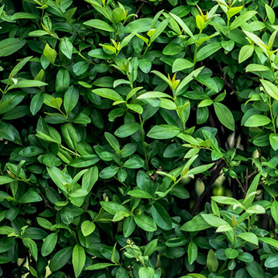 PRIVET-HEDGING-QUICK PRESET_400X400.PNG