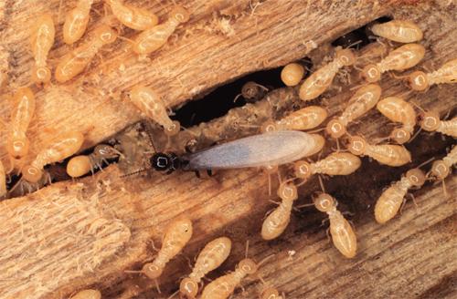 termites-2.jpg