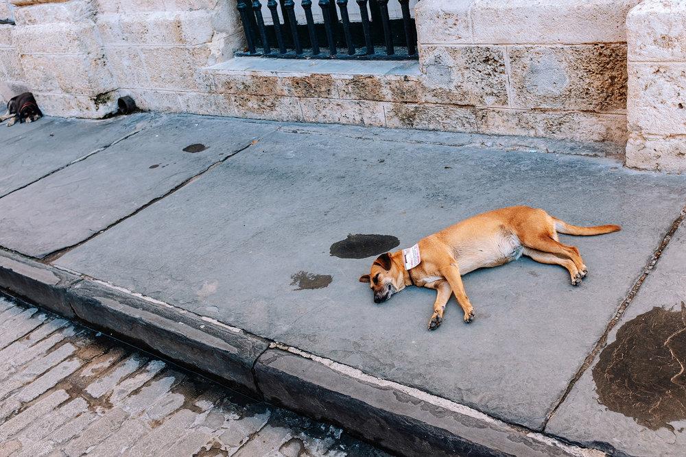 Stray dog lying on the floor in Old Havana