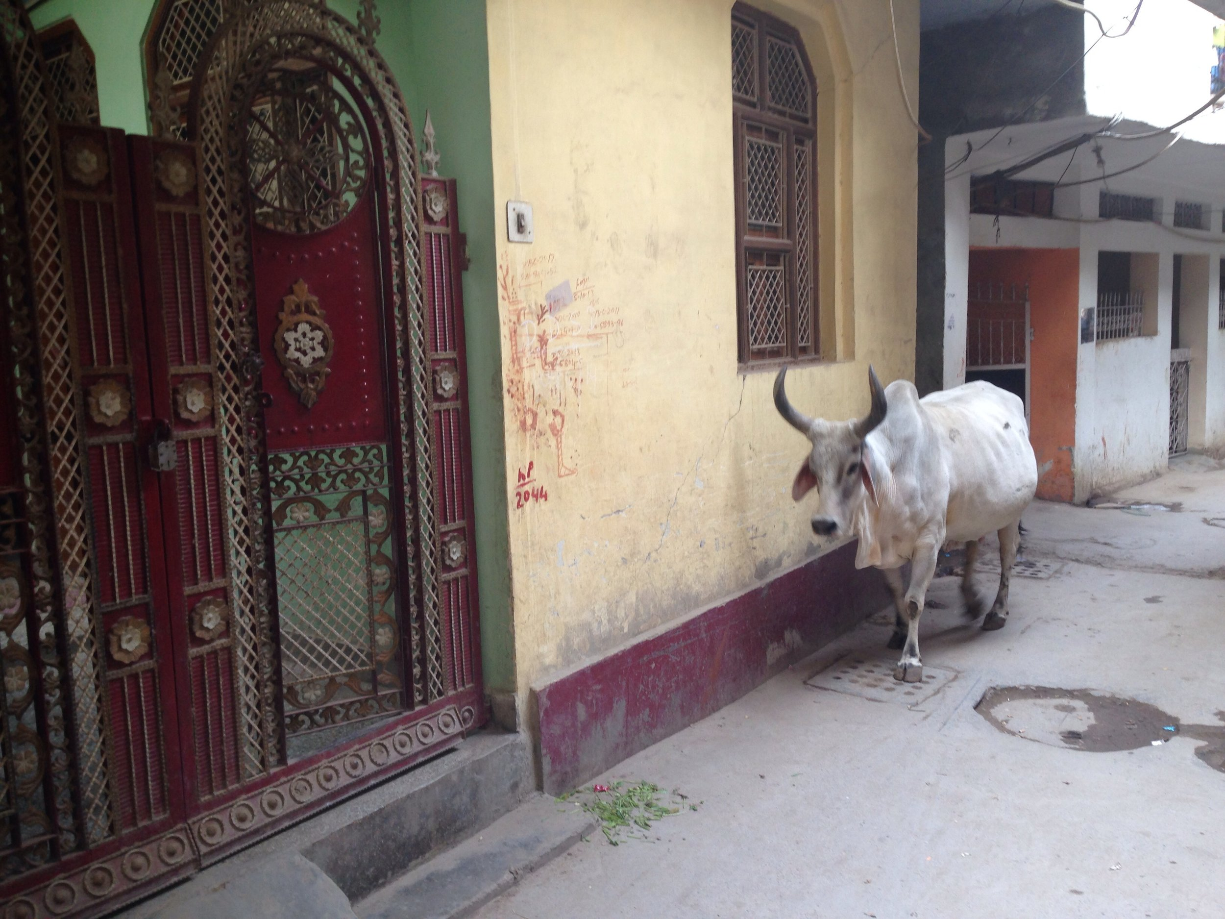 New Delhi. Yes there are cows everywhere
