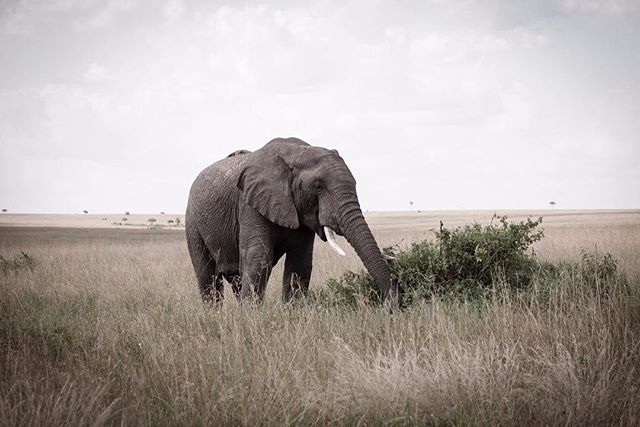 Wondering #wildlife #elephants #safari #wildlifephotography #wildlifephotographer #photograph #animals #photographydaily #photooftheday #photographyislife #myvisualnotebook #canon_official #canonphotography #canonphoto  #myfeatureshoot #exclusive_shots #ig_masterpiece #master_shots #500px #artofvisuals #theimaged #optoutside #theprintswap #myfeatureshoot  #nature #marvelous_shots #visualsoflife #modernoutdoors #passionpassport #yourshotphotographer #masaimaranationalpark