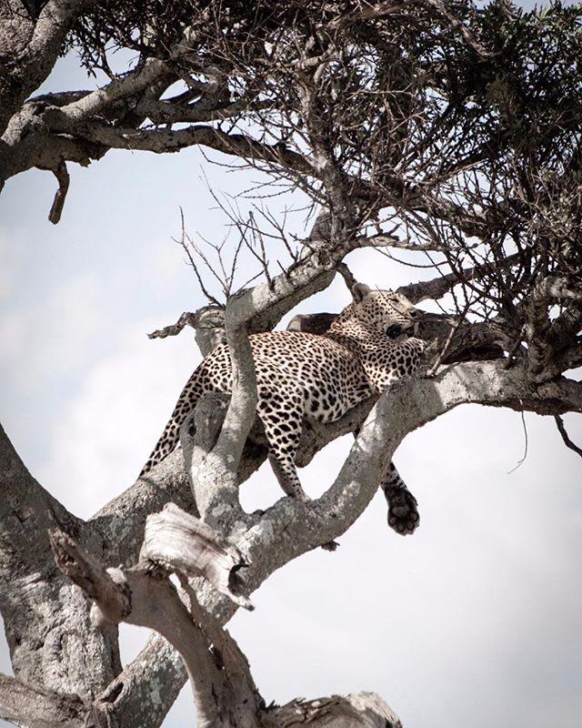Chilling in a tree #wildlife #leopard safari #wildlifephotography #wildlifephotographer #photograph #animals #photographydaily #photooftheday #photographyislife #myvisualnotebook #canon_official #canonphotography #canonphoto  #myfeatureshoot #exclusive_shots #ig_masterpiece #master_shots #500px #artofvisuals #theimaged #optoutside #theprintswap #myfeatureshoot  #nature #marvelous_shots #visualsoflife #modernoutdoors #passionpassport #masaimaranationalpark #yourshotphotographer