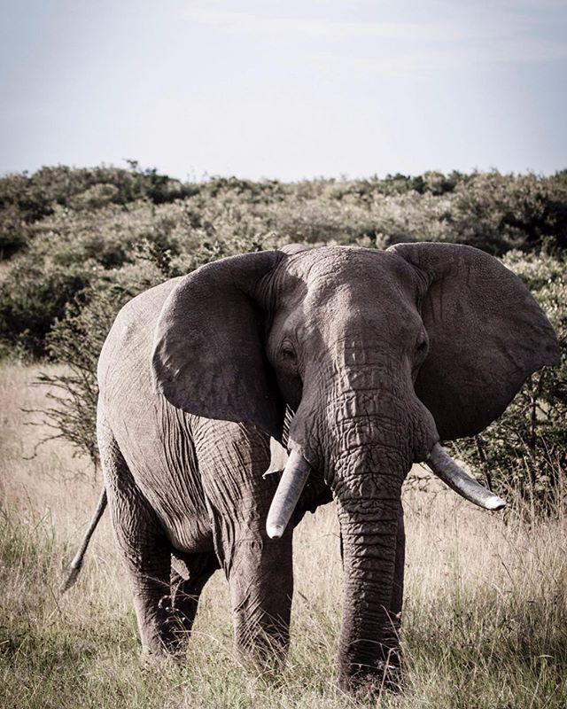 Check me out #wildlife #elephants #safari #wildlifephotography #wildlifephotographer #photograph #animals #photographydaily #photooftheday #photographyislife #myvisualnotebook #canon_official #canonphotography #canonphoto  #myfeatureshoot #exclusive_shots #ig_masterpiece #master_shots #500px #artofvisuals #theimaged #optoutside #theprintswap #myfeatureshoot  #nature #marvelous_shots #visualsoflife #modernoutdoors #passionpassport #yourshotphotographer #bushtopscamps @bushtops