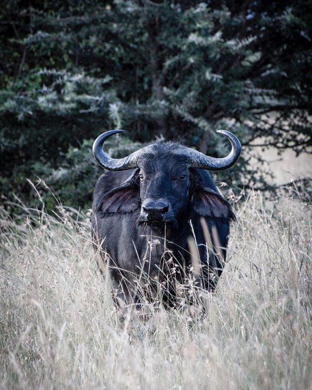Evening Walk #safari #wildlifephotography #wildlifephotographer #photograph #animals #photographydaily #photooftheday #photographyislife #myvisualnotebook #canon_official #canonphotography #canonphoto  #myfeatureshoot #exclusive_shots #ig_masterpiece #master_shots #500px #artofvisuals #theimaged #optoutside #theprintswap #myfeatureshoot  #nature #marvelous_shots #visualsoflife #modernoutdoors #passionpassport #yourshotphotographer #masaimaranationalpark