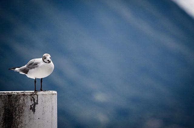 Perch #seagull #wildlifephotography #wildlifephotographer #photograph #animals #photographydaily #photooftheday #photographyislife #myvisualnotebook #canon_official #canonphotography #canonphoto  #myfeatureshoot #exclusive_shots #ig_masterpiece #master_shots #500px #artofvisuals #theimaged #optoutside #theprintswap #myfeatureshoot  #nature #marvelous_shots #visualsoflife #modernoutdoors #passionpassport #yourshotphotographer #lakecomo