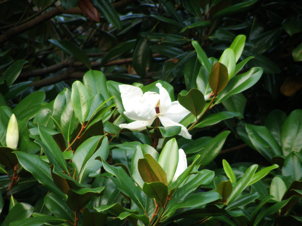 Village-Charm Southern Magnolia (1).JPG