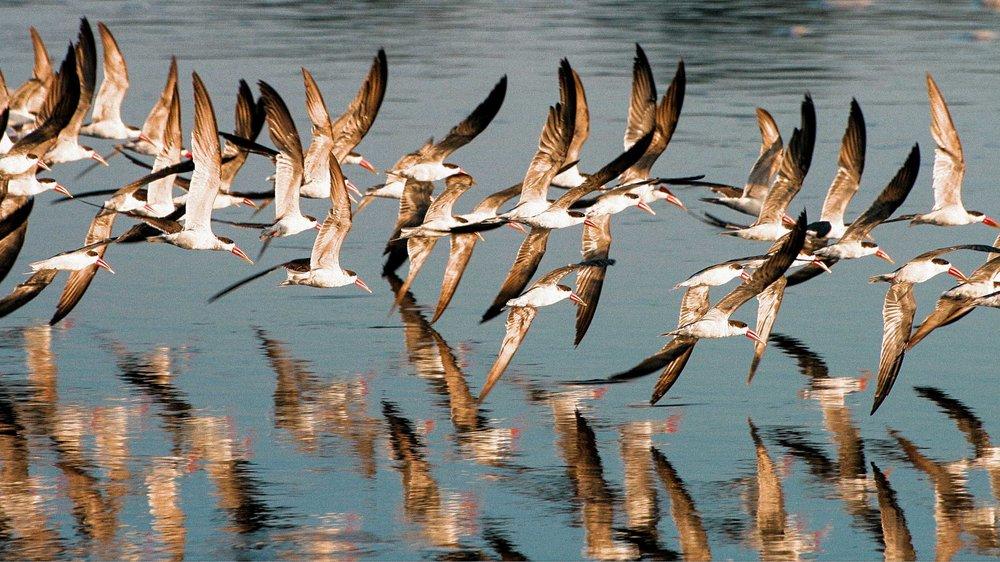Murchison - Birds - Skimmers2.jpg