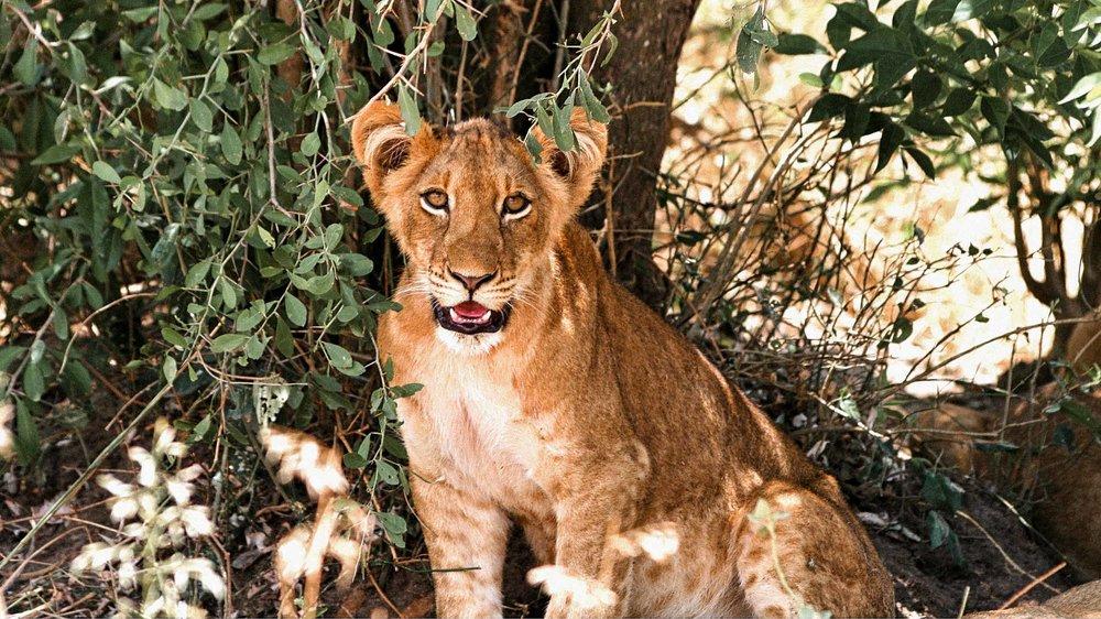 Murchison - Lion - Feb 2016.jpg