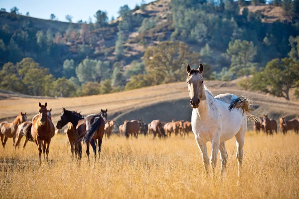 wild horses cal.jpg