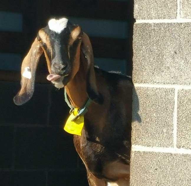 GoatTongue.jpg