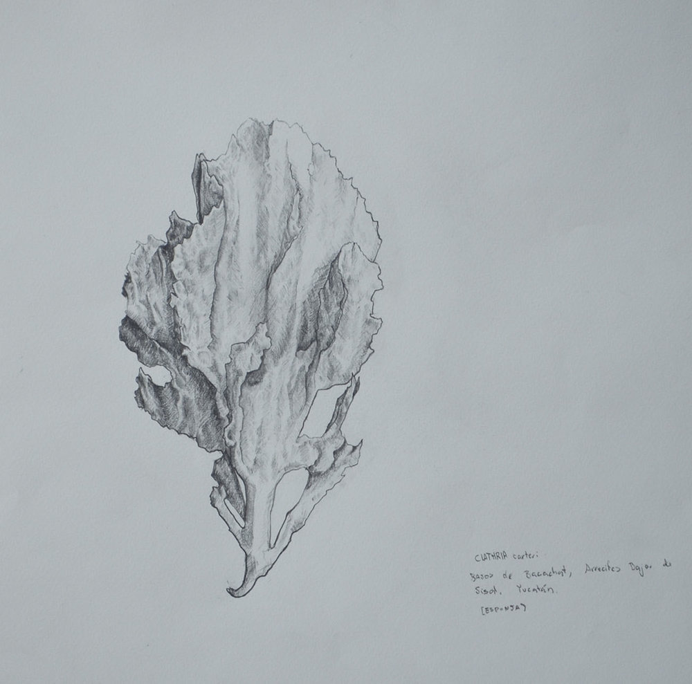 esponja. lápiz sobre papel. 40 x  50 cm