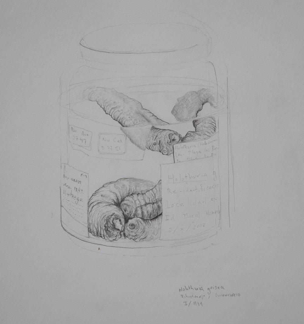 equinodermos. lápiz sobre papel. 25 x 35 cm