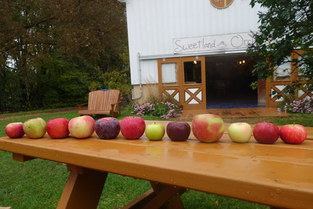 Left to right: Liberty, Regent, Haralson, Wolf River, Cortland, Bonnie Best, Shamrock, Ruby Jon, Fireside, Honeygold, Sweet Sixteen, Honeycrisp.