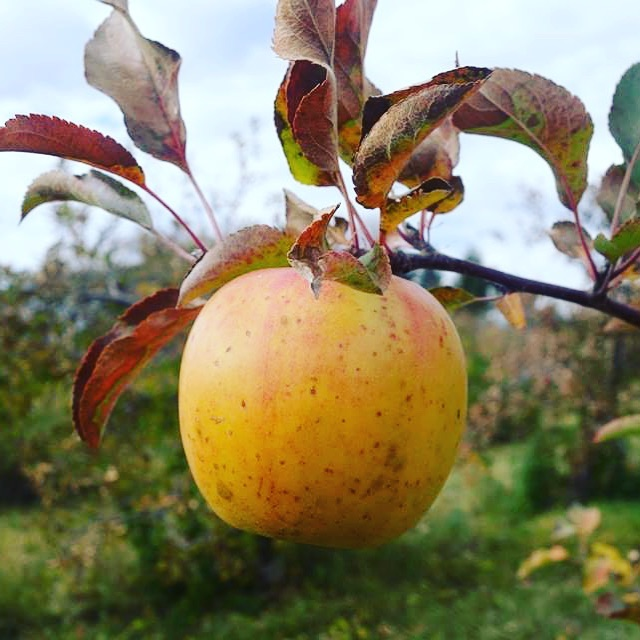 We will be open this Saturday, Nov. 17 from 10:00 to 4:00! We'll have plenty of late-season apple varieties plus two that we picked after we closed for our regular season, including GoldRush.
