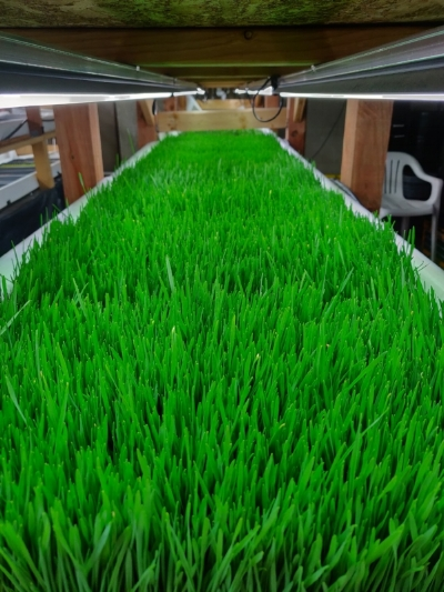 hydroponically grown grass.jpg