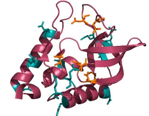 Locations of ionizable residues in Δ+PHS - Δ+PHS staphylococcal nuclease is shown here with all ionizing residues highlighted. Glutamic acid is cyan, and aspartic acid is orange. (From: Predicting extreme pKa shifts in staphylococcal nuclease mutants with constant pH molecular dynamics