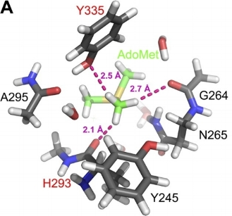 Optimized active site with bound adomet - Truncated AdoMet and the protein are depicted with green and gray carbon atoms, respectively. Residues labeled in red designate CH O acceptors. H O distances from methyl protons to nearest oxygen atom for optimized and broken geometry are shown in magenta and cyan, respectively.