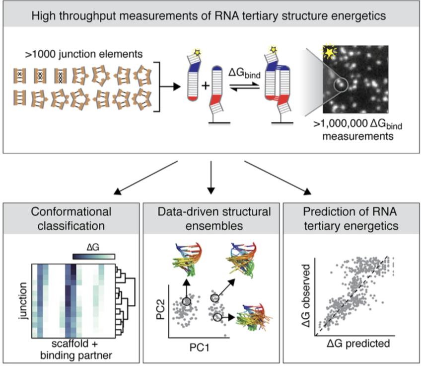 High throughput measurements of RNA tertiary structure energetics - Characterizing the thermodynamic fingerprints of >1,000 RNA junctions reveals principles for how RNA sequence affects tertiary assembly energetics, highlighting a path toward tertiary folding prediction by integrating static structural and dynamic energetic information.