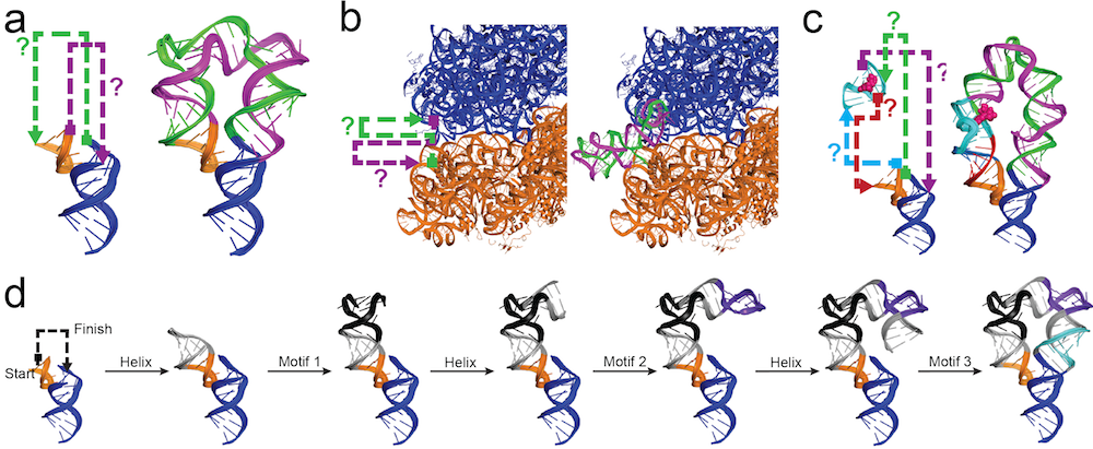 Problems in RNA nanotechnology solved by RNAMake - (a) 'miniTTRs' require two strands (green, purple between tetraloop (orange) and tetraloop-receptor (blue); (b) tethered ribosomes require two strands (green, purple) to link the small subunit (orange) to the large subunit (blue). c) 'Locking' a small-molecule binding aptamer (cyan; ATP molecule in pink spheres) by designing four strands (green, purple, teal, magenta) to a peripheral tertiary contact(orange, blue). d) Demonstration of RNAMake design algorithm, which builds an RNA path via the successive addition of motifs and helices from a starting base pair to the ending base pair.