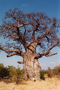 A single Baobab Trees can hold up to 4,500 liters of water highly valued in arid areas; fibers from the bark can be turned into rope or cloth, it's said to have hundreds of cures for ills and hollowed out, the trunks can provide shelter for as many as 40 people.