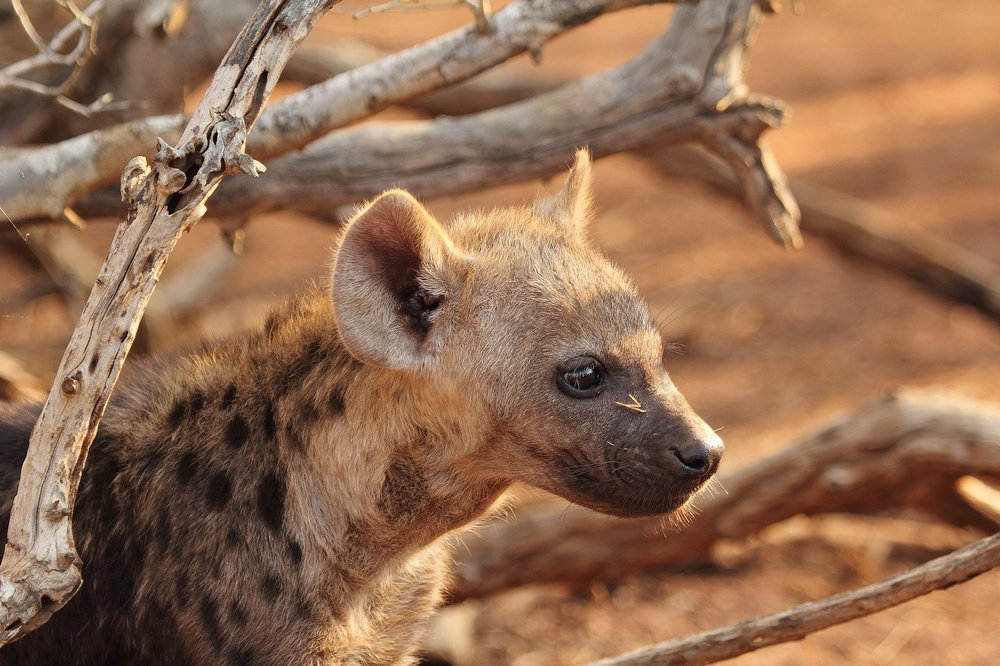 """DID YOU KNOW? - We're playing Chappie's Bubble Gum game """"DID YOU KNOW?"""" All questions South Africa theme based in celebration of my heritage!Spotted hyenas are social mammalsliving in structured groups called clansthat grow as large as 80 individual hyenas. These clans have a strict hierarchy where females rank higher than males and each clan is led by one powerful alpha female."""