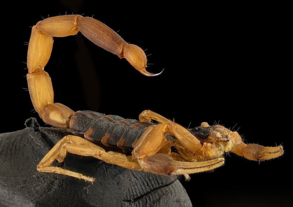 scorpion-2789321_1920.jpg