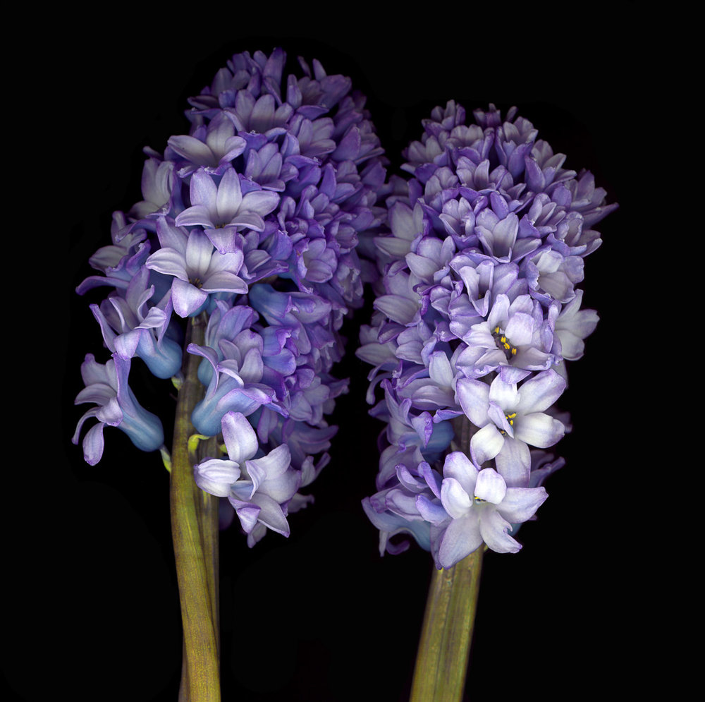 Grape Hyacinth #2, 2005