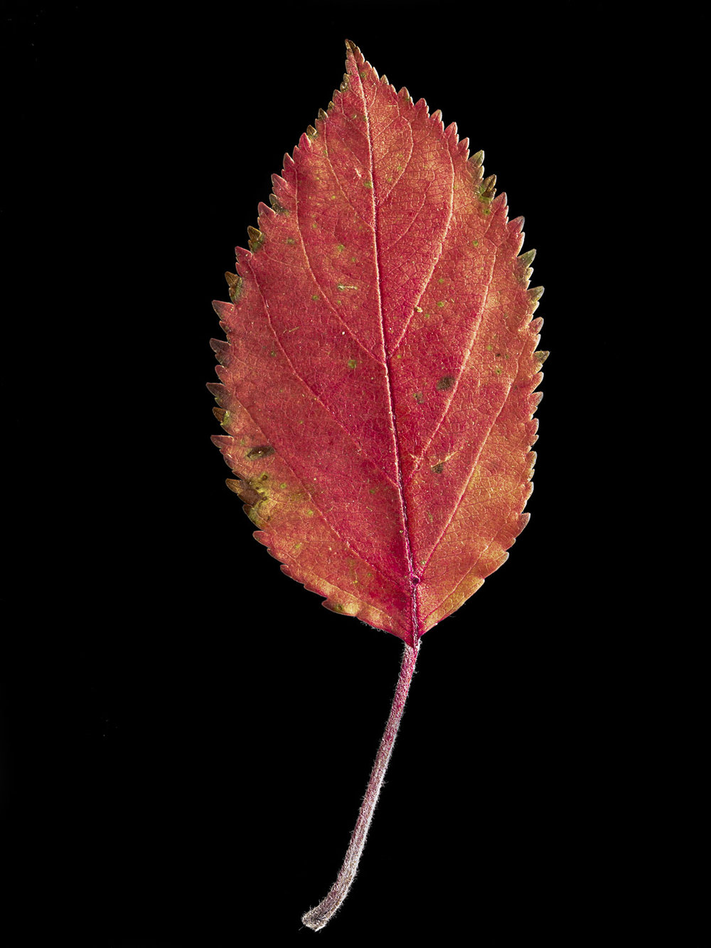 Dried Leaf #6, 2009