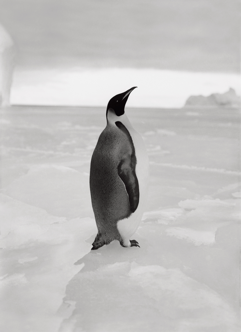 An Emperor Penguin, 1911
