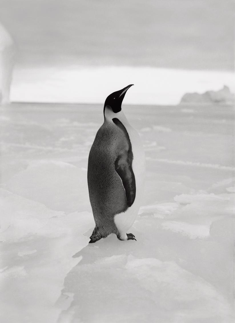 An Emperor Penguin, 1911