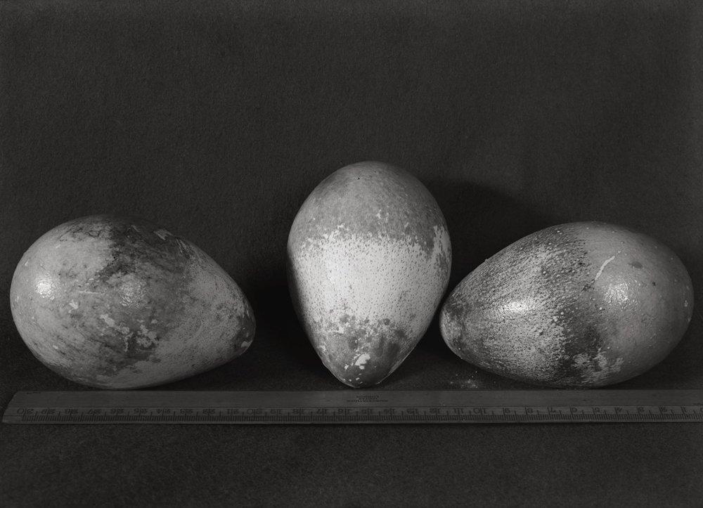 Emperor Penguin Eggs, 1911