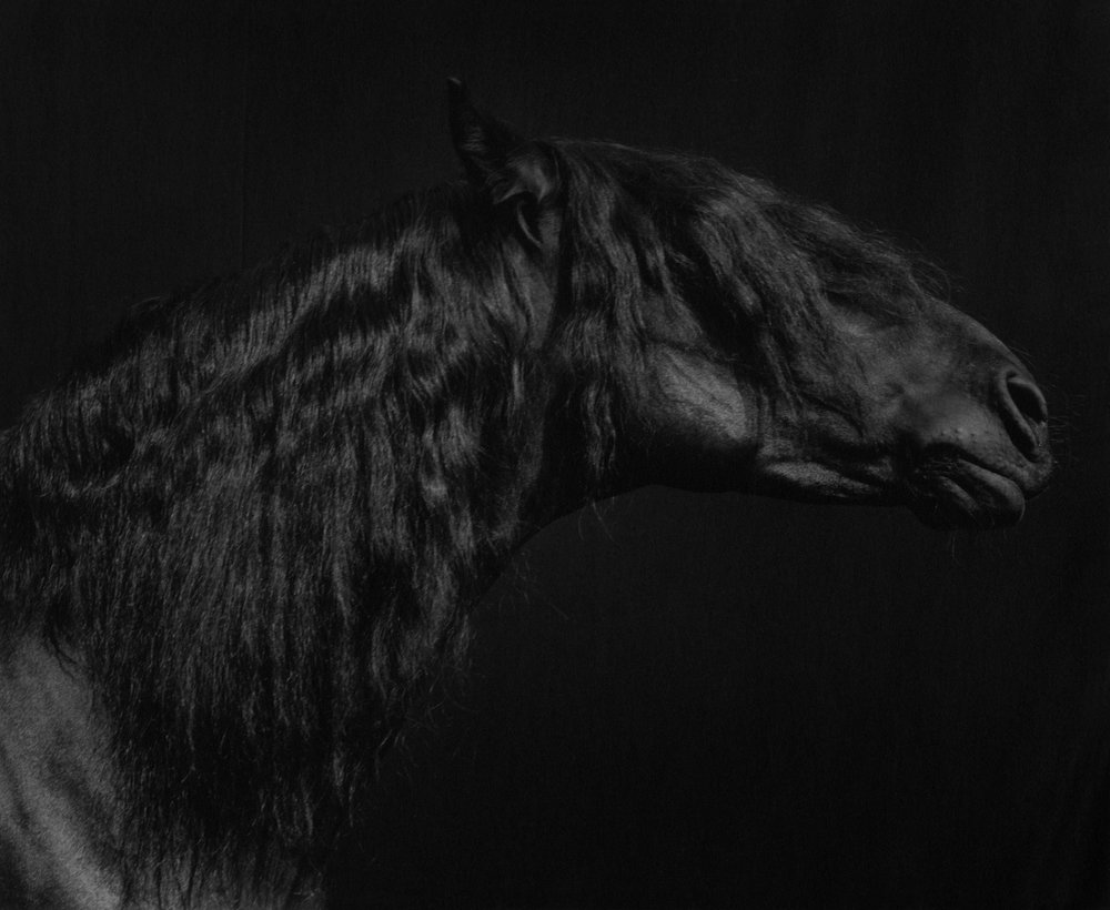 Horse #55 from the 'Horses' series