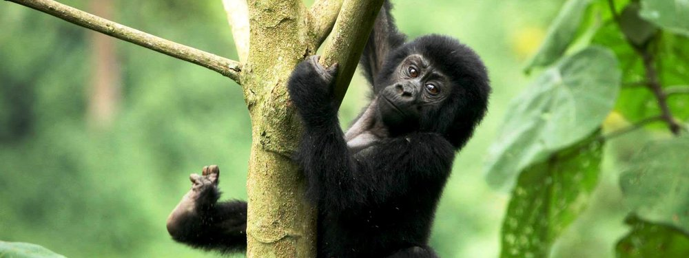 Gorilla trekking package rates – Mutanda Lake Resort Uganda - Close to bwindi, virunga, mgahinga