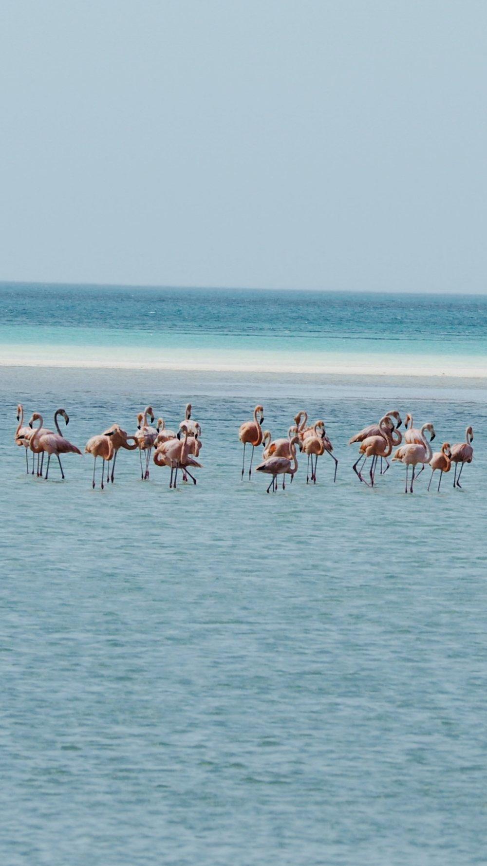 A flamboyance of flamingos in Isla Holbox